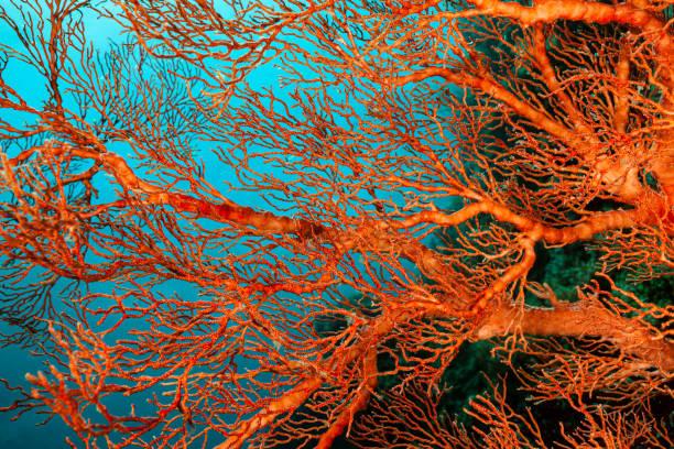 Knotted Fan Coral Melithaea ochracea at a Steep Slope, Misool, Indonesia:スマホ壁紙(壁紙.com)