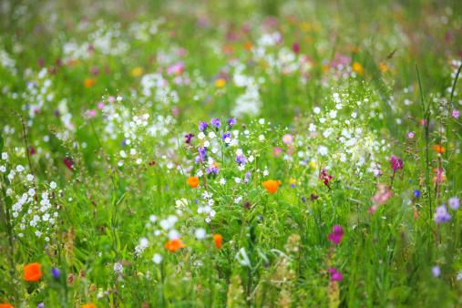 Wildflower「Germany, Baden Wuerttemberg, View of flower meadow」:スマホ壁紙(3)