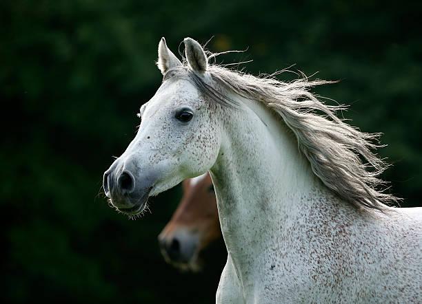 Germany, Baden-Wuerttemberg, Arabian horse, Equus ferus caballus:スマホ壁紙(壁紙.com)