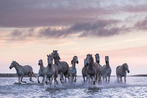 Horse「Camargue - Camargue horses」:スマホ壁紙(3)