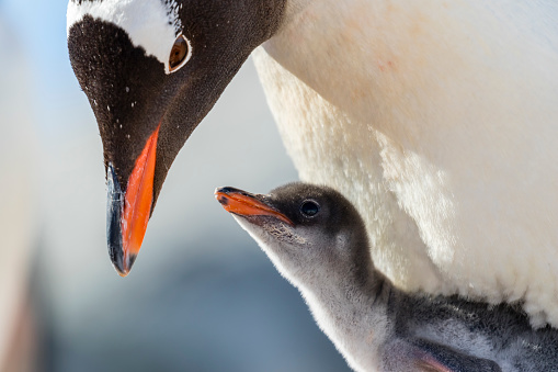 Gentoo Penguin「Gentoo penguin chick and parent」:スマホ壁紙(0)