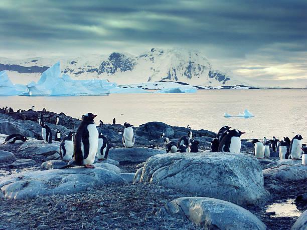 Gentoo penguins on the Antarctic Peninsula:スマホ壁紙(壁紙.com)