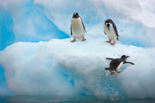 Gentoo Penguin「Gentoo Penguin (Pygoscelis papua)」:スマホ壁紙(8)