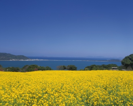 Satoyama - Scenery「Flower Garden of Rape in Nokonoshima Island Park, Fukuoka」:スマホ壁紙(18)