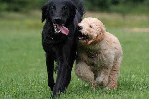 Puppy「Playing dogs.」:スマホ壁紙(8)