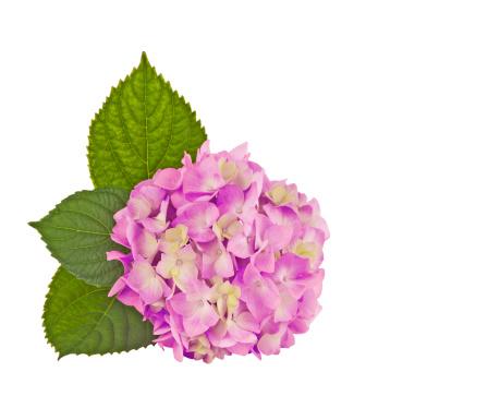 Hydrangea「hydrangea pink」:スマホ壁紙(15)