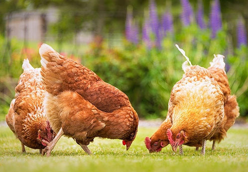 Four Animals「Group of free-range hens foraging for food」:スマホ壁紙(16)