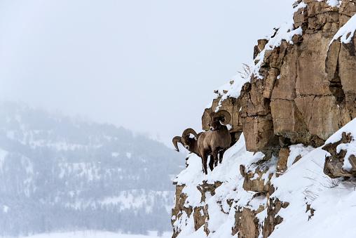 Horned「Bighorn Sheep in winter」:スマホ壁紙(17)