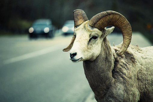 Named Animal「Bighorn sheep」:スマホ壁紙(3)