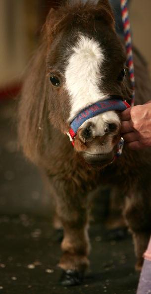 Horse「World's Smallest Horse Visits New York City」:写真・画像(8)[壁紙.com]