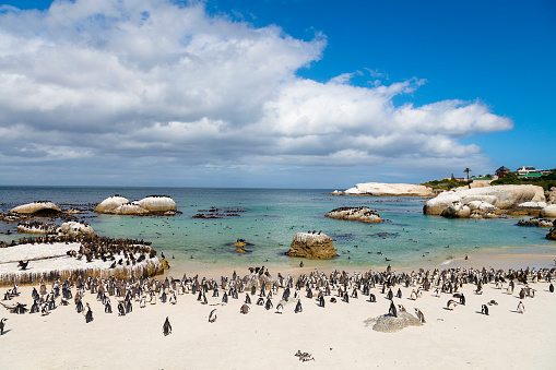 Group Of Animals「African Penguins Colony at Boulders Bay in South Africa」:スマホ壁紙(11)