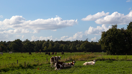 North Brabant「Cows in typical rural landscape of Dutch province North Brabant」:スマホ壁紙(17)