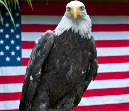 Named Animal「American Eagle Posing in front of US Flag」:スマホ壁紙(13)