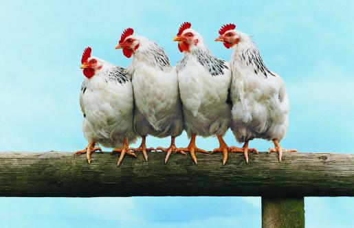 Conformity「Four Chickens on Fence」:スマホ壁紙(18)