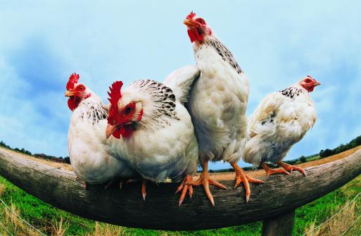 Four Animals「Four Chickens on Fence」:スマホ壁紙(18)