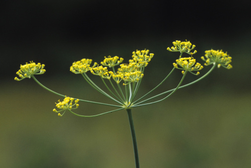 Fennel「Umbel, a type of inflorescence (cluster of flowers). Sweet Fennel, Foeniculum vulgare. Leaves used in salads or as a garnish in fish entrees. Michigan」:スマホ壁紙(12)