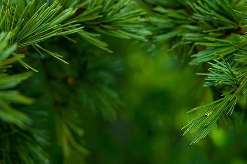 枝「クローズアップのモミの木」:スマホ壁紙(7)