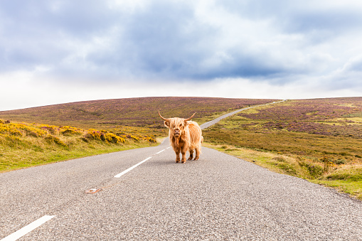 Scottish Highlands「toll road with a giant highland cow as toll collector」:スマホ壁紙(18)