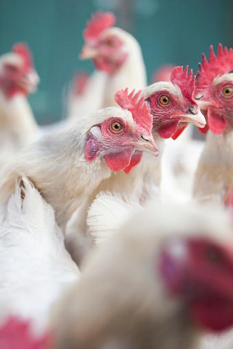 Females「White hens in a flock」:スマホ壁紙(18)