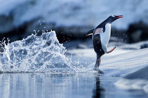 Gentoo Penguin「Leaping Gentoo Penguin, Antarctica」:スマホ壁紙(13)
