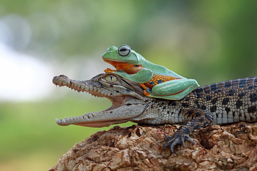 動物「Tree frog sitting on  crocodile」:スマホ壁紙(12)