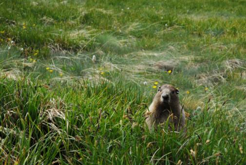 Named Animal「Olympic National Park - Marmot」:スマホ壁紙(8)