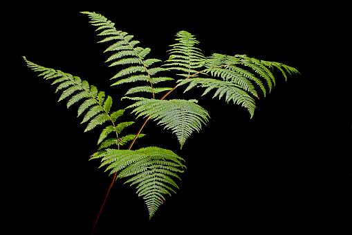 Uncultivated「Pteridium aquilinum (bracken, brake, eagle fern)」:スマホ壁紙(11)