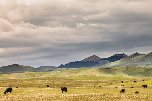 Medium Group Of Animals「Herd of Cattle & Mountain Montana Landscape」:スマホ壁紙(19)