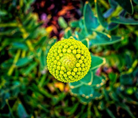Wildflower「Ornamental Pincushion flower」:スマホ壁紙(3)