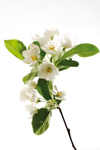 Deciduous tree「Ornamental apple flowers, close-up」:スマホ壁紙(2)