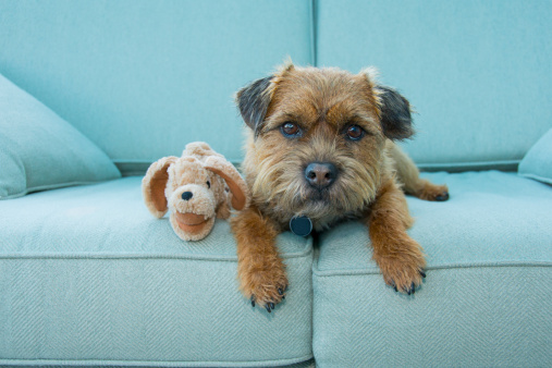 Looking At Camera「Border Terrier dog with toy, Norfolk」:スマホ壁紙(14)