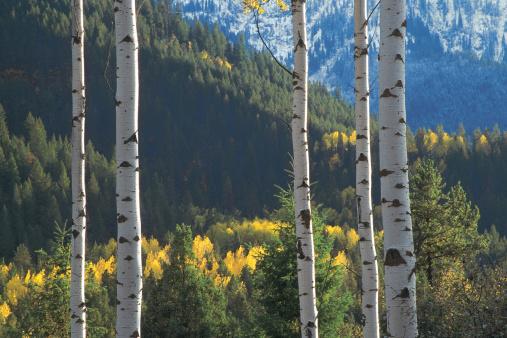 Aspen Tree「Aspens and evergreens in Targhee National Forest in Wyoming」:スマホ壁紙(5)