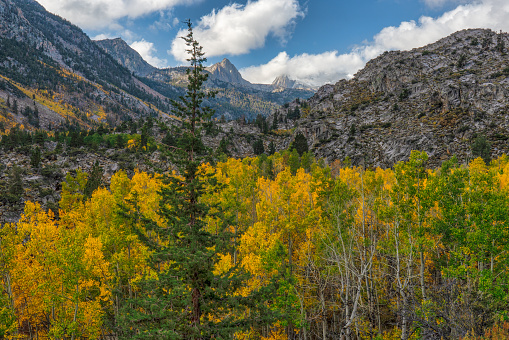 Aspen Tree「Aspens and Pines in Bishop Canyon」:スマホ壁紙(4)