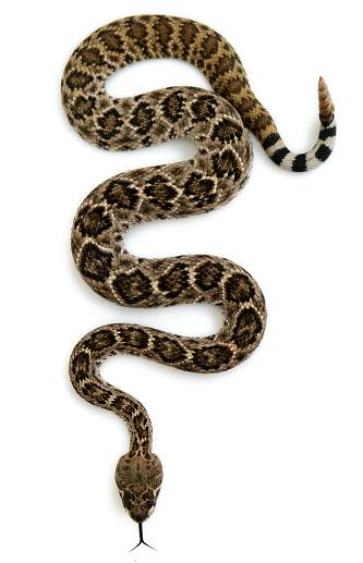 Poisonous「Isolated Rattlesnake」:スマホ壁紙(7)