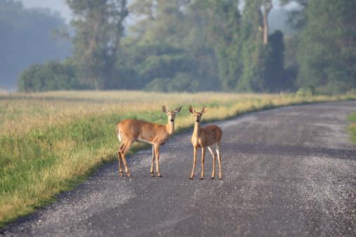 Animal Ear「Two Alert Deer in Montezuma National Wildlife Refuge at Dawn」:スマホ壁紙(4)