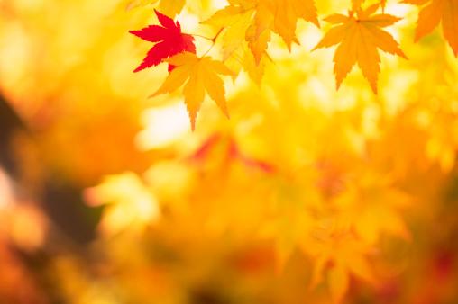 かえでの葉「輝く秋の葉」:スマホ壁紙(7)