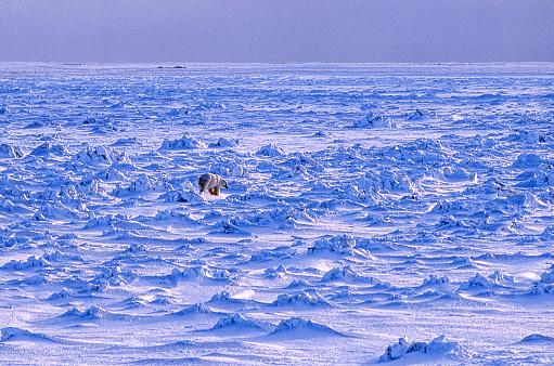 Pack Ice「One Wild Polar Bear Walking on Icy Hudson Bay」:スマホ壁紙(3)