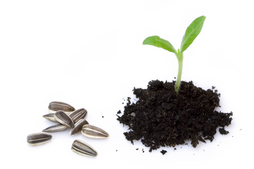 Planting「New life Sunflower」:スマホ壁紙(19)