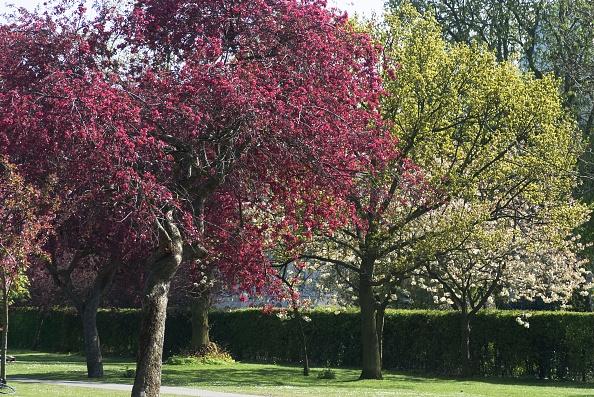 Tree「Regents Park - Spring Blossoming Trees In Regents Park」:写真・画像(6)[壁紙.com]