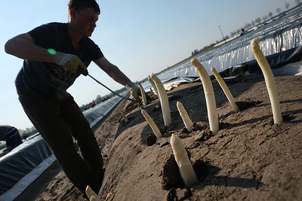 Beelitz「Asparagus Season Underway In Beelitz Region」:写真・画像(8)[壁紙.com]