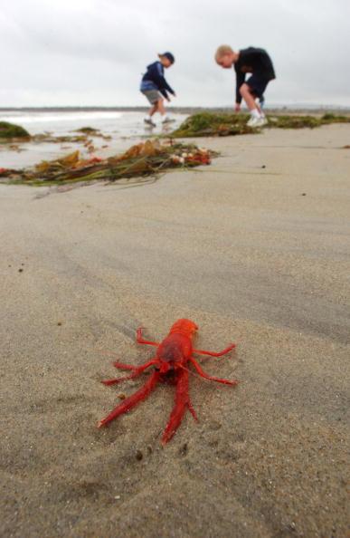 Baja California Peninsula「Arrival of Pelagic Crabs May Indicate El Nino Event」:写真・画像(16)[壁紙.com]