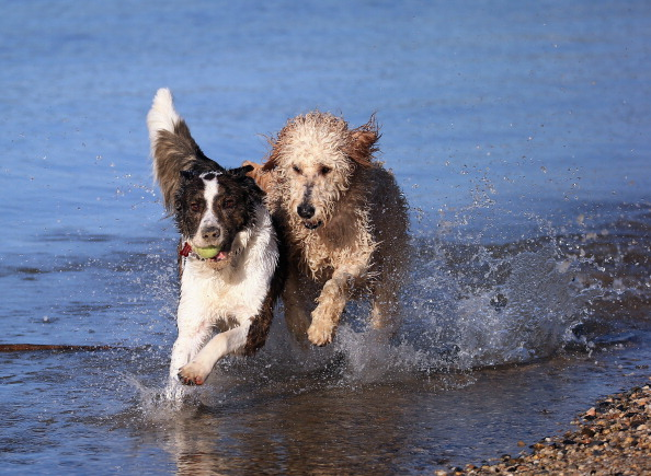 Playing「Dogs at Play」:写真・画像(7)[壁紙.com]