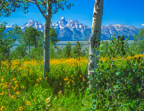 Aspen Tree「Spring in the Grand Teton National Park with Balsam Root ,WY (P)」:スマホ壁紙(14)