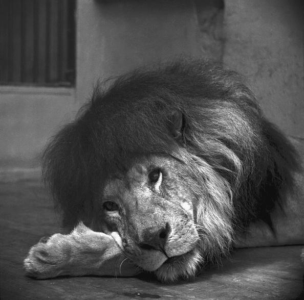 Big Cat「Lion Belle Vue Zoo Manchester」:写真・画像(13)[壁紙.com]