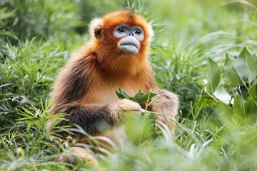 Animal Family「Golden Monkey」:スマホ壁紙(3)
