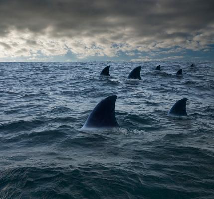 Medium Group Of Animals「Shark fins in ocean」:スマホ壁紙(12)