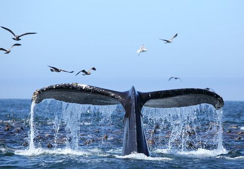 Sea Lion「Whale watching on the Monterey Bay California USA」:スマホ壁紙(0)