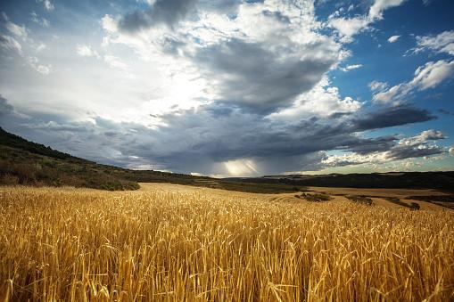 Agricultural Field「Golden wheat field under beautiful sunset sky」:スマホ壁紙(17)