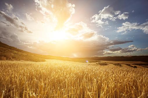 Sun「Golden wheat field under beautiful sunset sky」:スマホ壁紙(3)