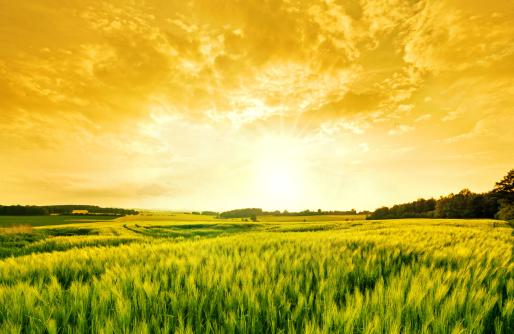 Agricultural Field「golden wheat landscape」:スマホ壁紙(6)